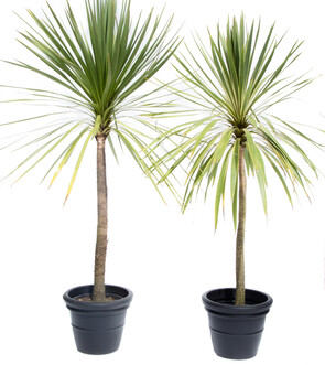 Cordyline Green & Variegated