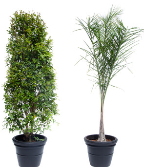 Waterhousia & Queen Palm