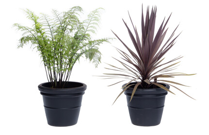 H & C Fern Chocolate Cordyline